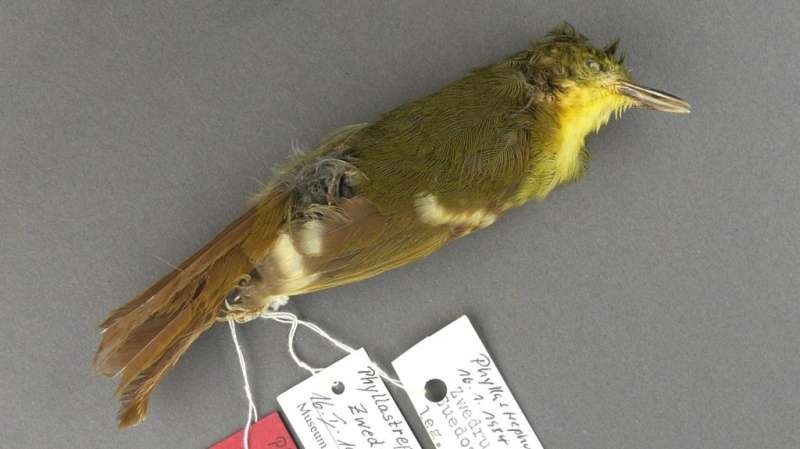 Rare songbird may never have existed