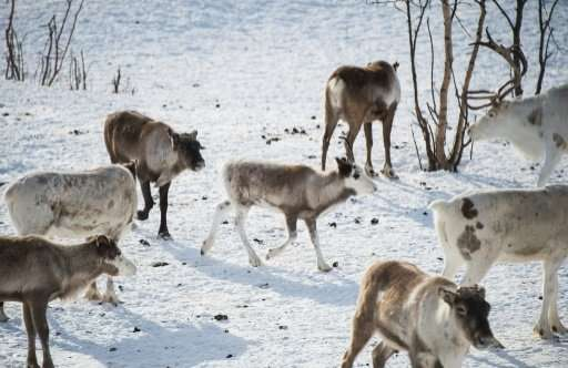 Reindeer are pictured in Kautokeino, a town in Finnmark county, located in northeastern Norway. Many reindeer have been killed b