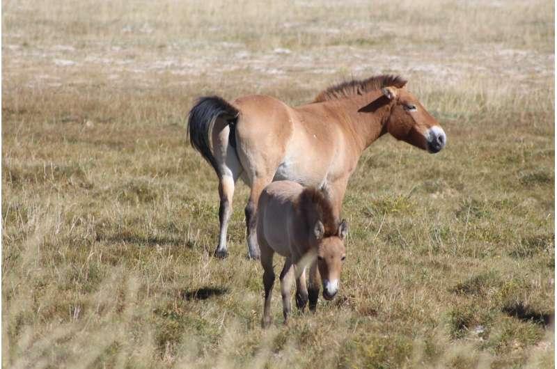 Reintroduced Przewalski's horses have a different diet