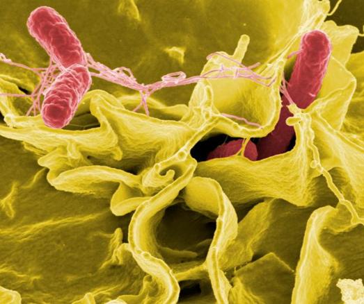 Researchers model impact of vaccine campaigns on invasive Salmonella