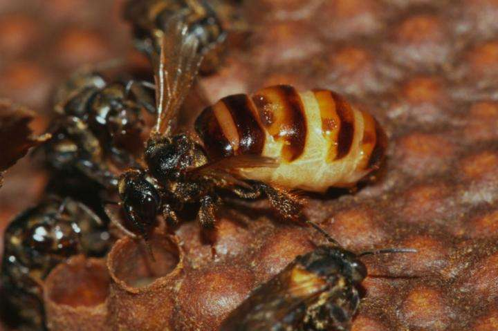 Rise of male individuals in stingless bees colonies leads to queen's death