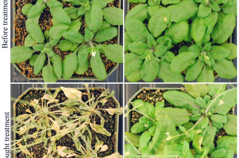 RNA discovery could help boost plant heat, drought tolerance