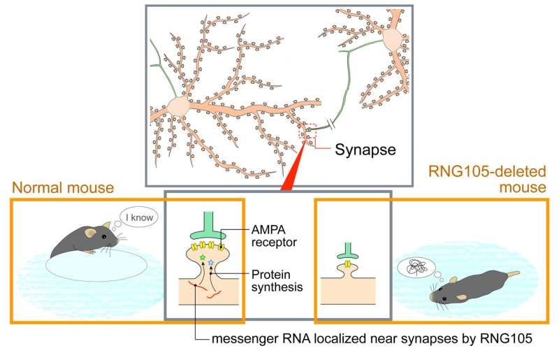 RNG105/caprin1 is essential for long-term memory formation