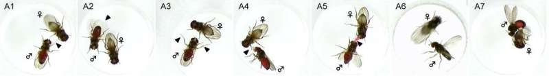 Same gene, different mating techniques in flies