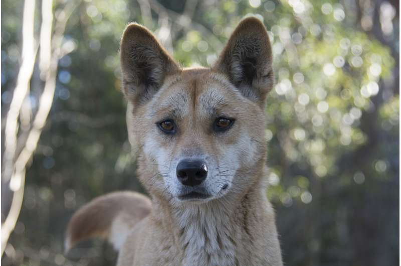 Sandy the dingo wins world's most interesting genome competition