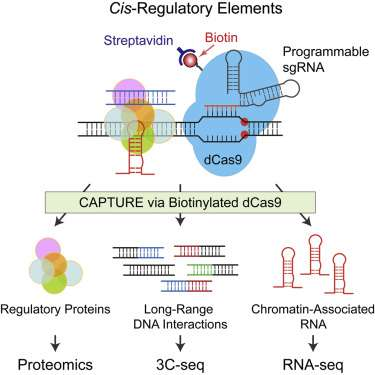 Scientists characterize regulatory DNA sequences responsible for human diseases