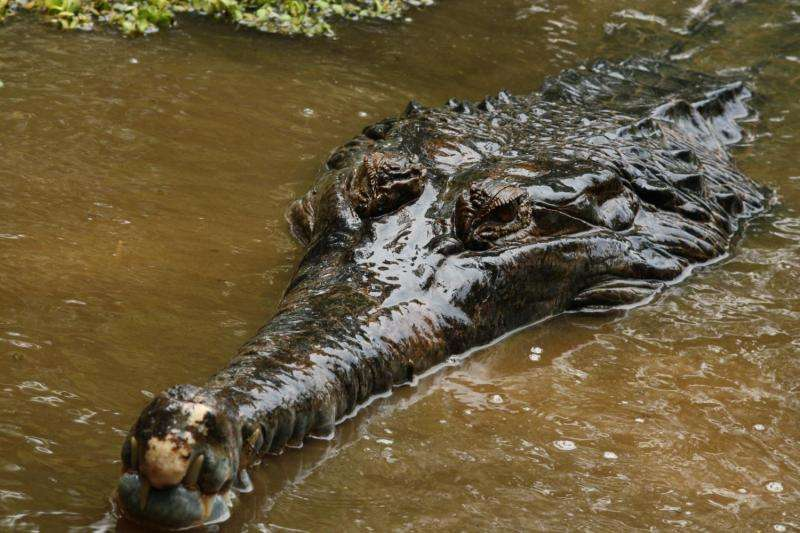 Scientists establish the first semen collection from saltwater crocodiles in Malaysia