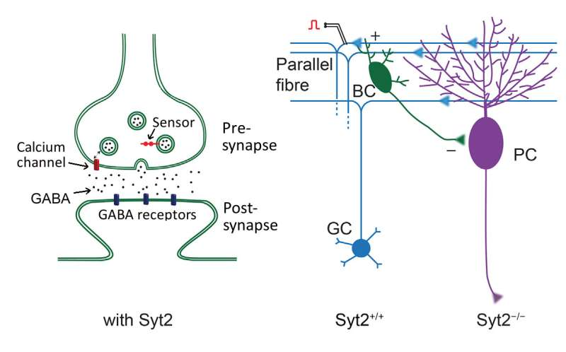 Scientists find sensor that makes synapses fast