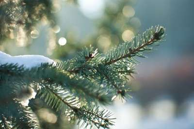 Scientists make plastic from Christmas trees