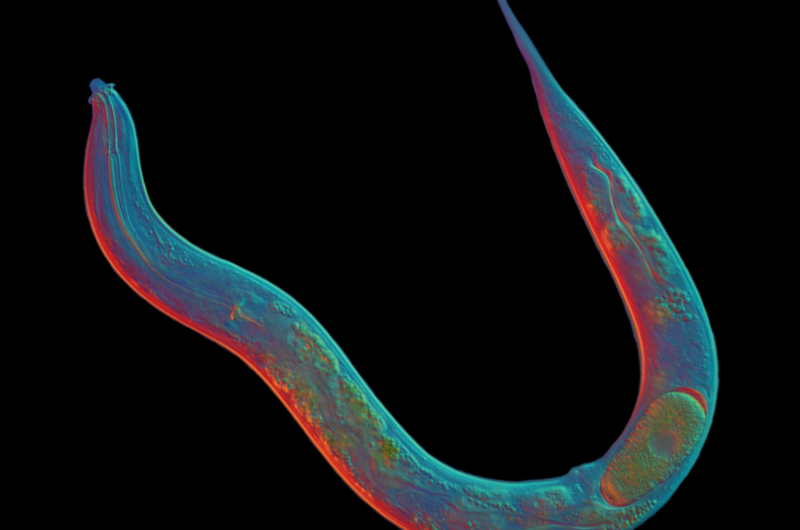 Scientists sequence asexual tiny worm -- whose lineage stretches back 18 million years