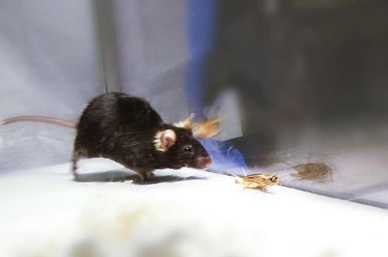 Scientists switch on predatory kill instinct in mice