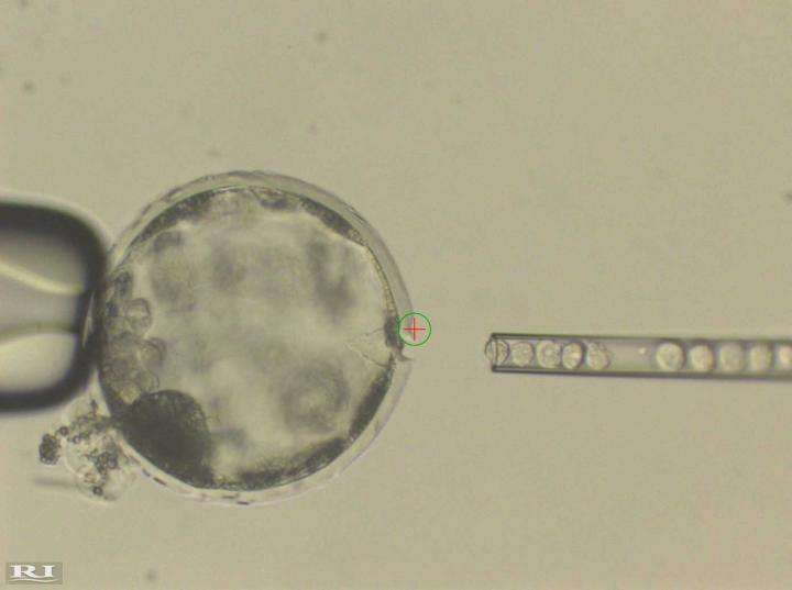 Scientists use stem cells to create human/pig chimera embryos