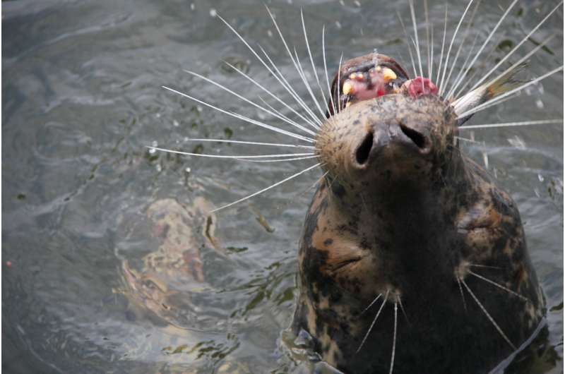 Seals, birds and humans compete for fish in the Baltic Sea