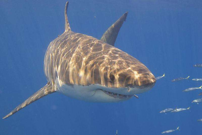 Sharks: How a cull could ruin an ecosystem