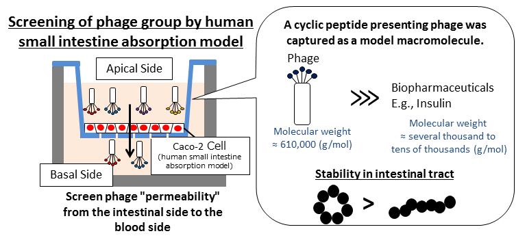 Small intestine permeable peptides facilitate digestive tract absorption