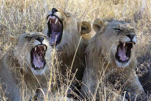 South Africa approves export of 800 lion skeletons this year