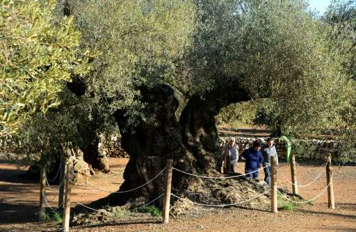 Spain is the world's top olive oil producer and home to the world's oldest olive tree