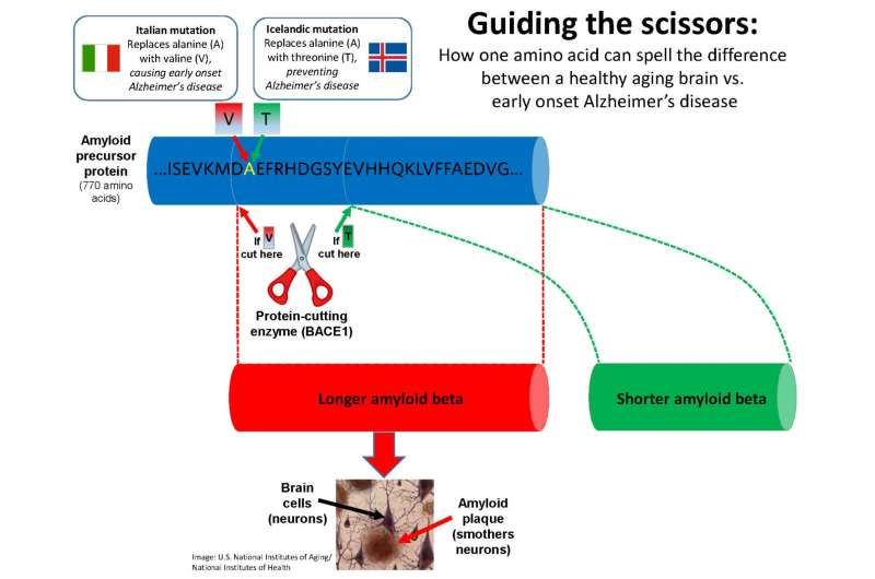 Steering an enzyme's 'scissors' shows potential for stopping Alzheimer's disease