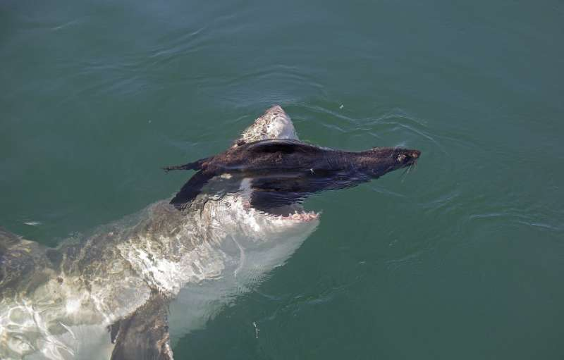 Stress test: New study finds seals are stressed-out by sharks