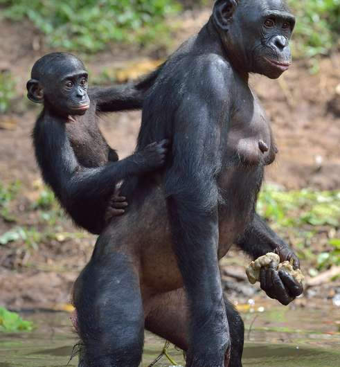 Study: Bonobos may be better representation of last common ancestor with humans