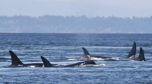Study links at-risk orcas' failed pregnancies to scarce food