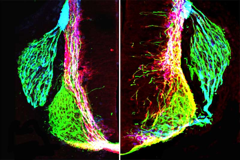 Study overturns seminal research about the developing nervous system