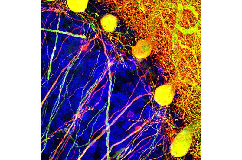 Study shines light on brain cells that coordinate movement