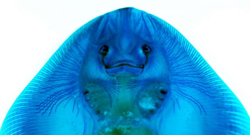 Study shows how skates, rays and sharks sense electrical fields