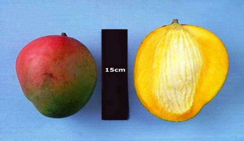 Study shows mango consumption has positive impact on inflammatory bowel disease
