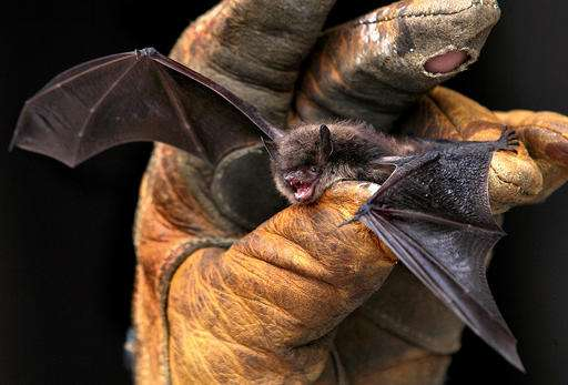 Study: Some bats showing resistance to deadly fungus