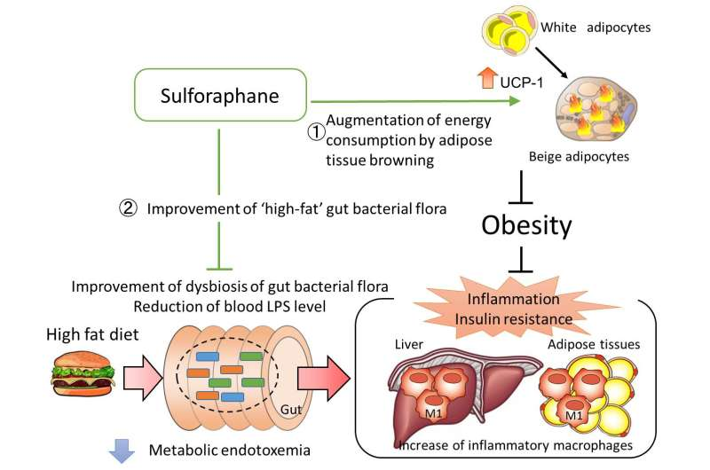 Sulforaphane, a phytochemical in broccoli sprouts, ameliorates obesity