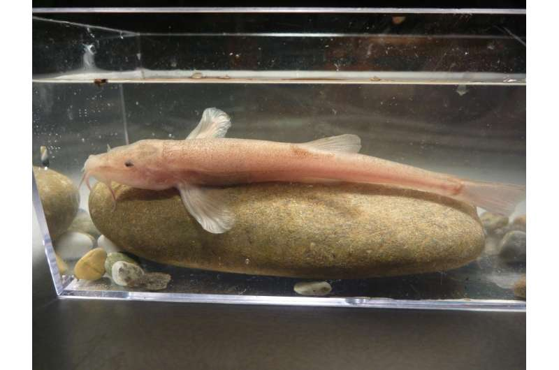 Surprise discovery of Europe's first cave fish