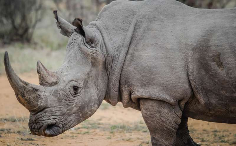 Synthetic horns may save rhinos if they are not like the real thing