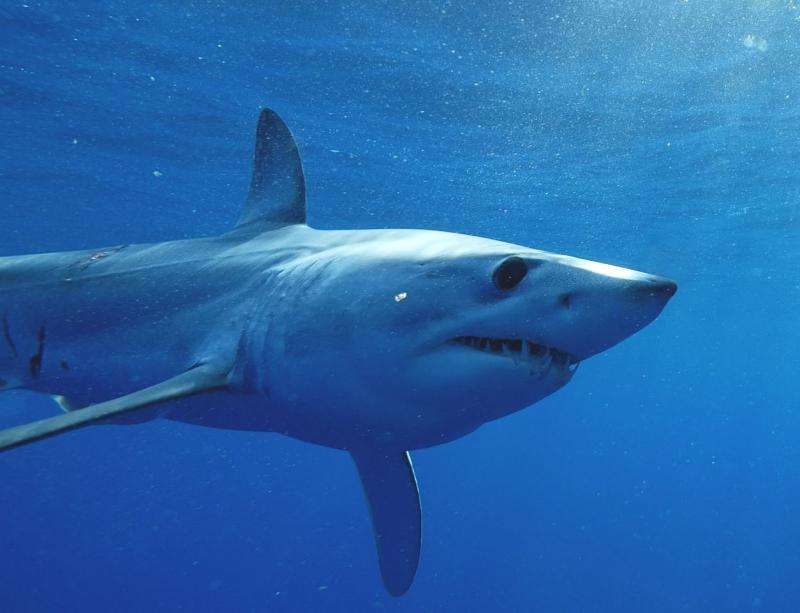 Tagged mako shark takes amazing 13,000 mile journey