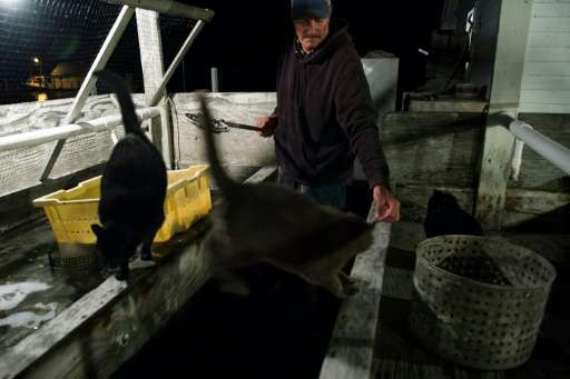 Tangier Mayor James Eskridge feeds his cats as he checks on his soft shell crabs