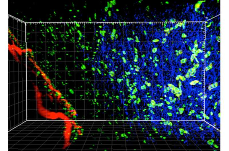 Targeting immune cells that help tumors stay hidden could improve immunotherapy