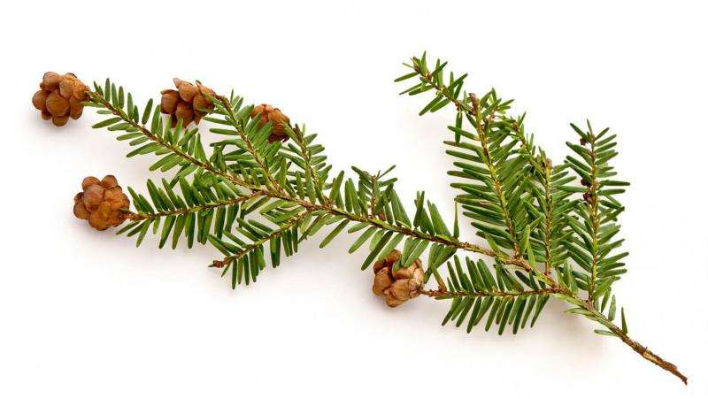 Team predicts increasing decline of hemlock as winters warm