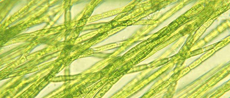 Technology could transform microalgae into bio-based chemicals to increase biofeedstock, reduce landfill waste