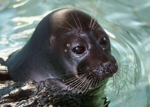 The Baikal seal is the smallest in the world