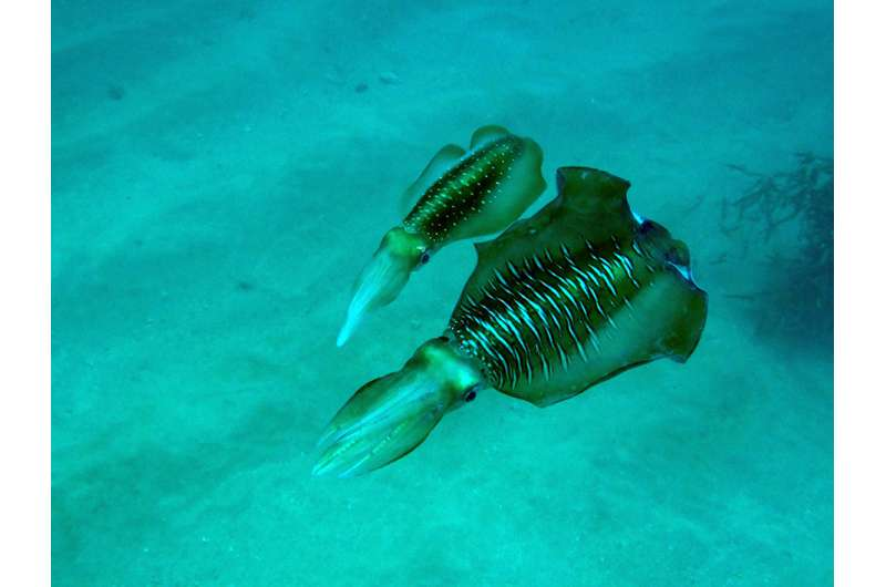 The courting cephalopods of the East China Sea