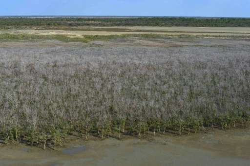 The die-back of mangrove swamps in Australia's Gulf of Carpentaria is believed to be the worst incident ever recorded