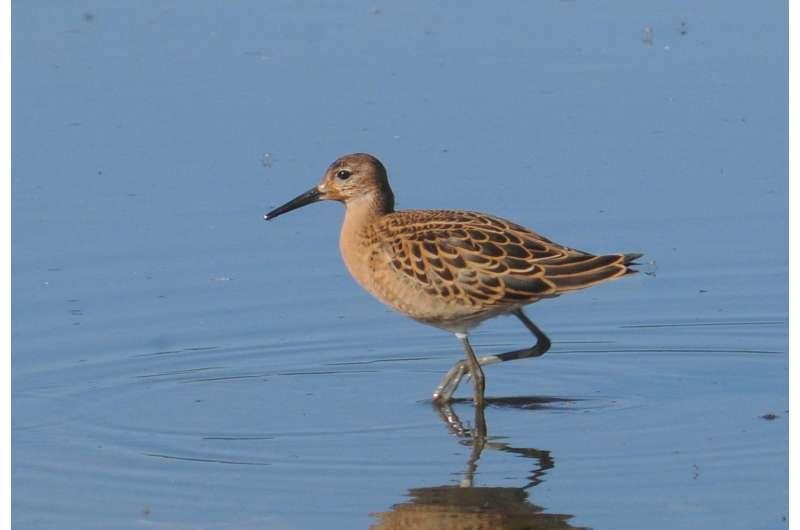 The drying of peatlands is reducing bird diversity