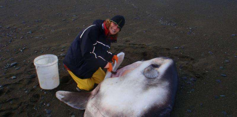 The four-year treasure hunt for the hoodwinkersunfish