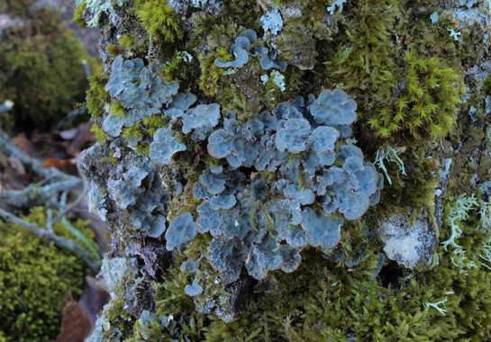 The lichen that changes its reproductive strategy according to the climate