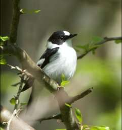 The likelihood for mixed breeding between two songbird species lessens with warmer springs