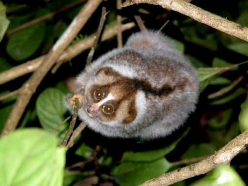 The loris may look cuddly, but it has poisonous glands on it arms that it licks before biting rivals