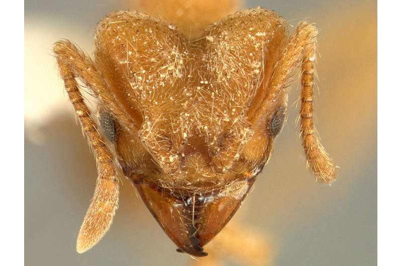 The Radiohead ant: A new species of 'silky' ant grows fungus gardens for food