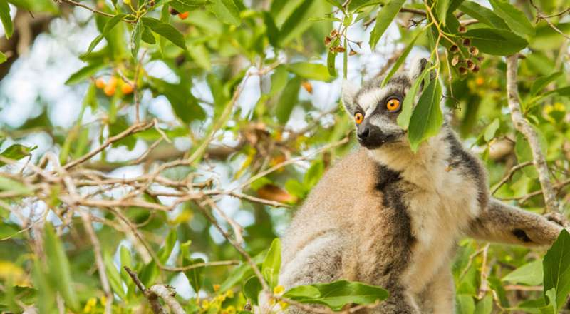 These ring-tailed lemurs raise a 'stink' when they flirt with potential mates