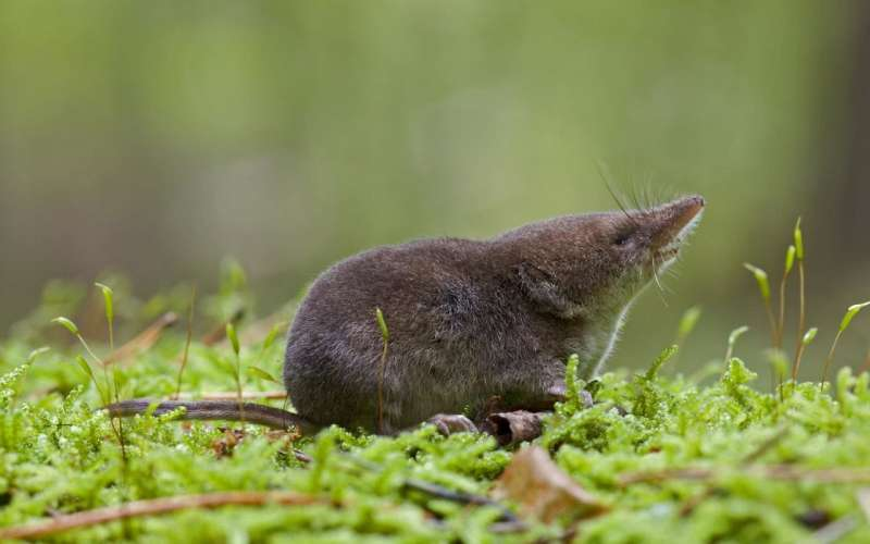 These shrews have heads that shrink with the season