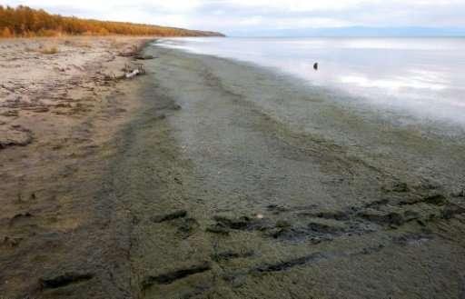 The shoreline of Lake Baikal is covered by rotting Spirogyra algae